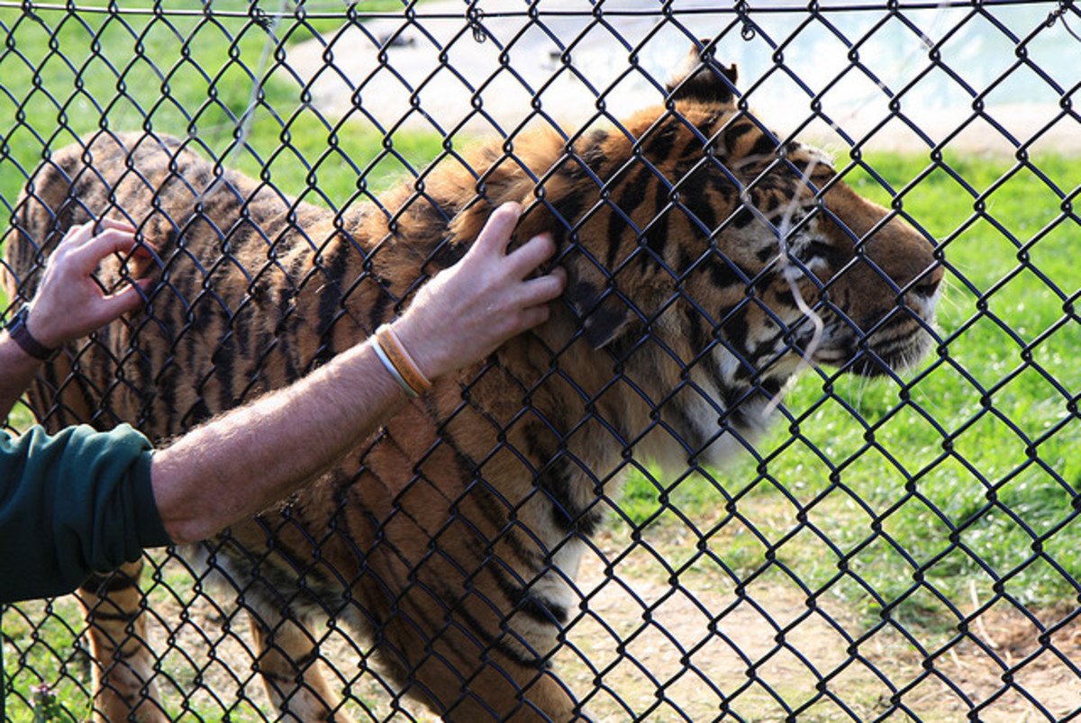 It's best to limit interacting with big cats through the cage fencing.