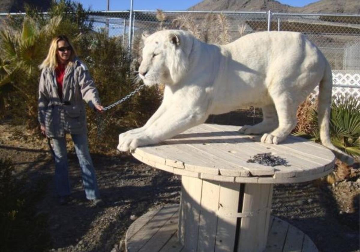 Private owner with well-cared for 'white' tiger