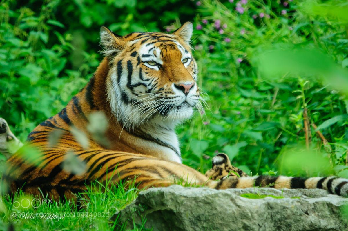 tigercare