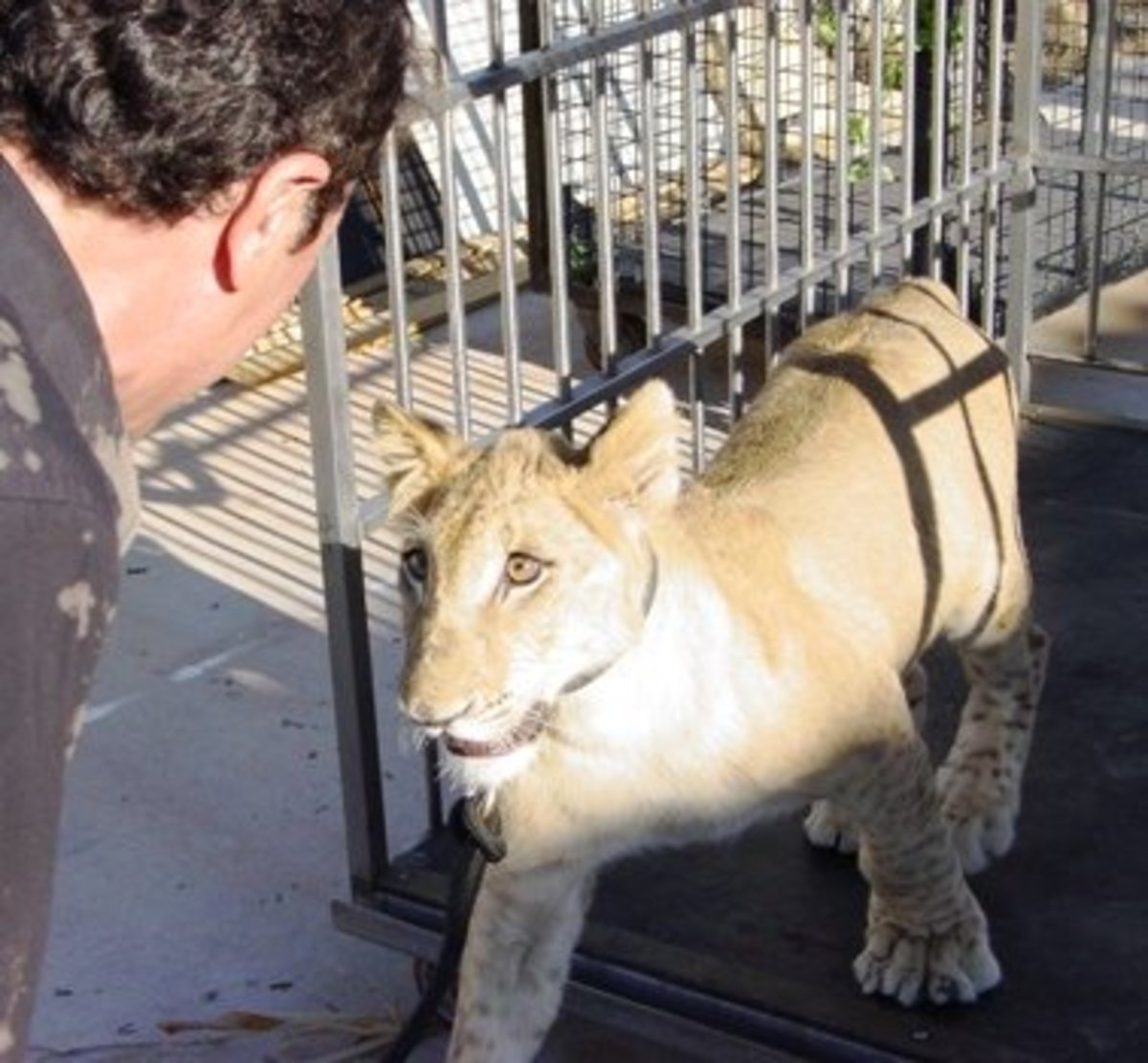 Lion cub being introduced to a crate early