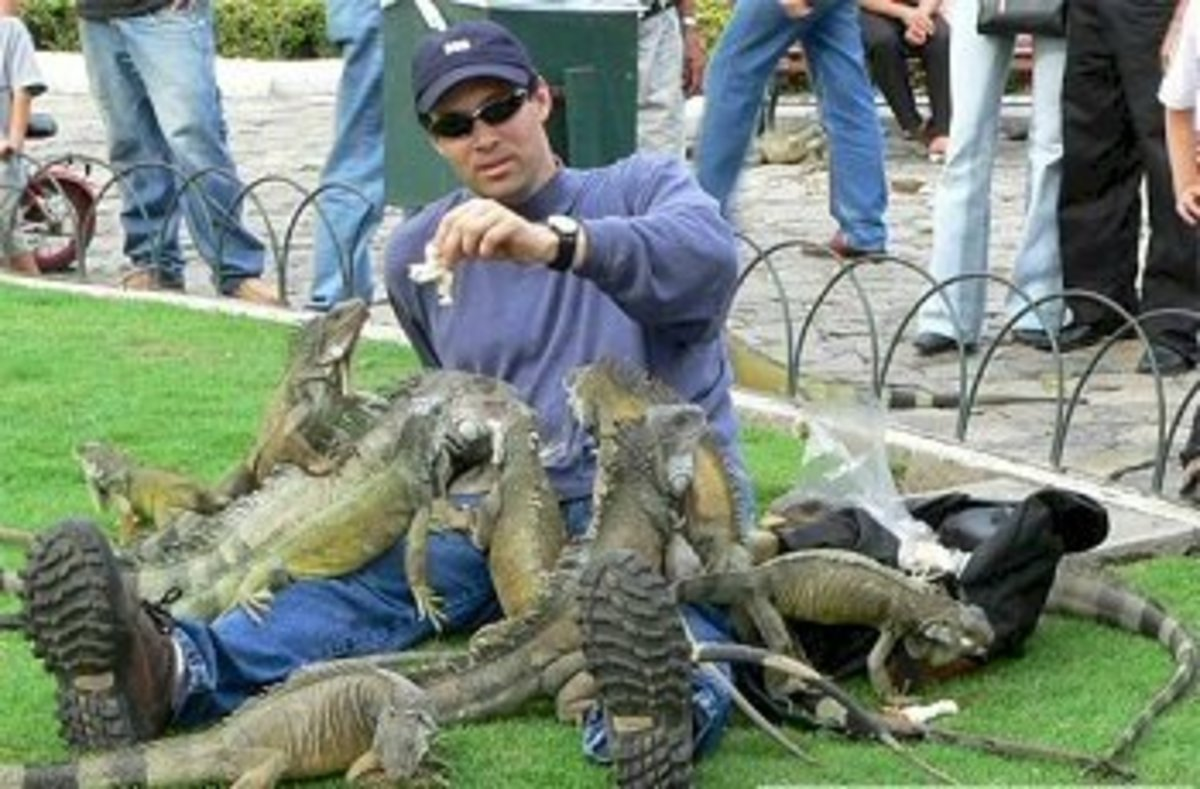 This man here is experiencing the full force of a green iguana flash mob.