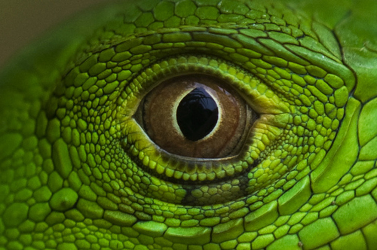 With eyes reminiscent of a Jurassic Park raptor, a green iguana knows your every fear and desire.