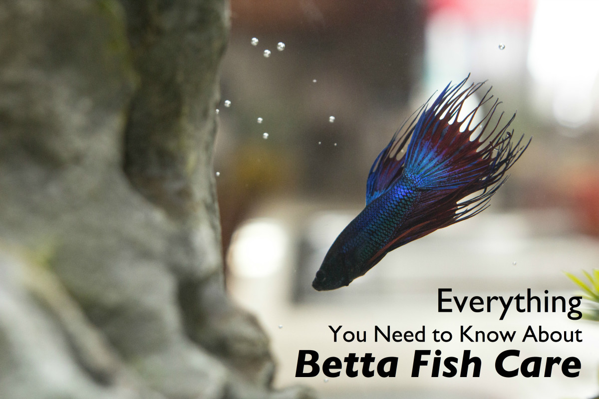 Betta fish like rocks with hiding places.