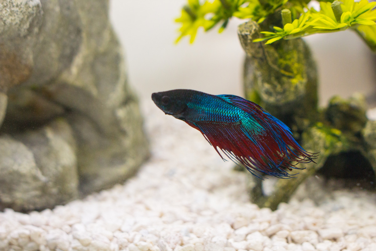 how to tell a healthy betta fish