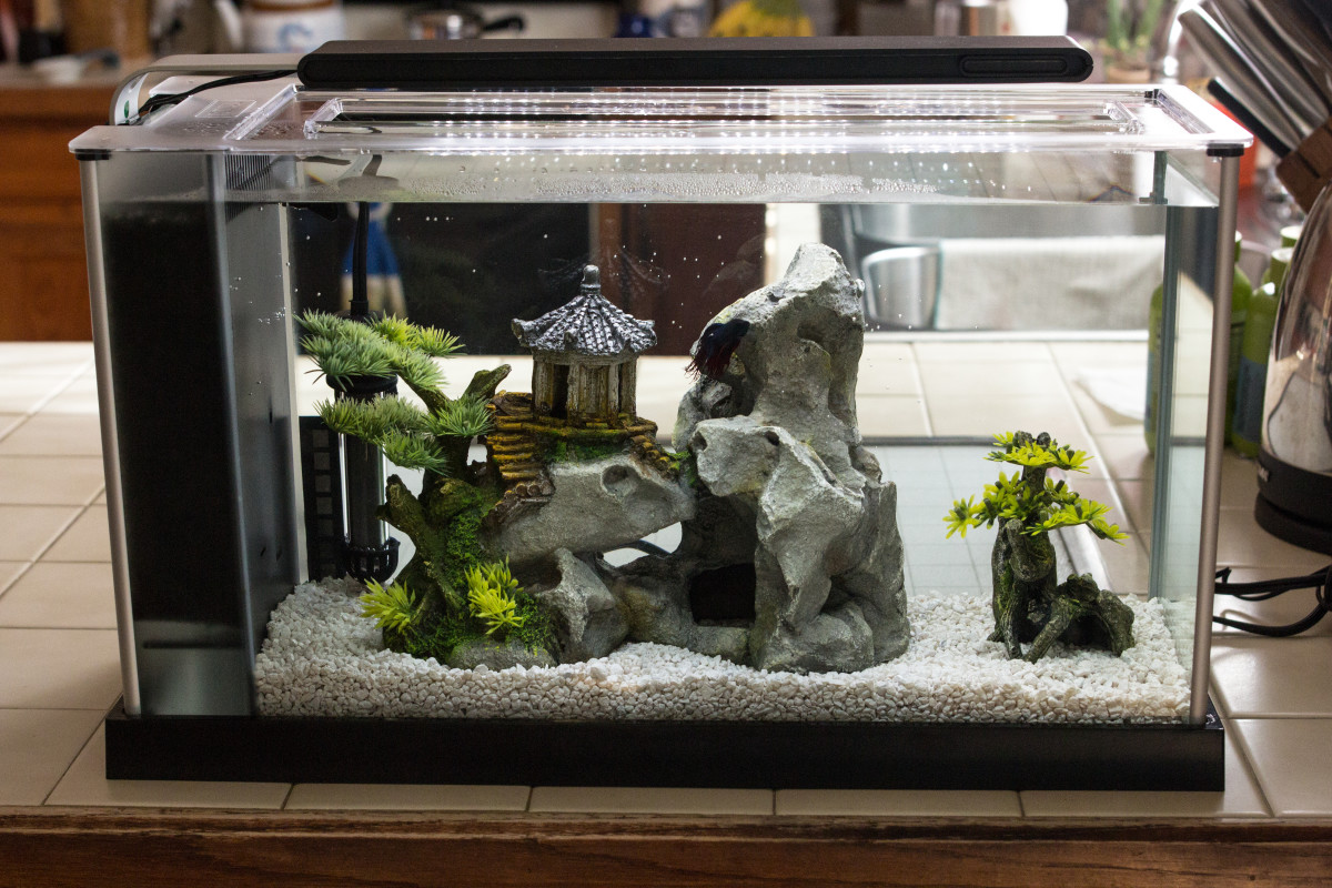 Have the tank ready, with water, live plants, and rocks when you bring your betta home.