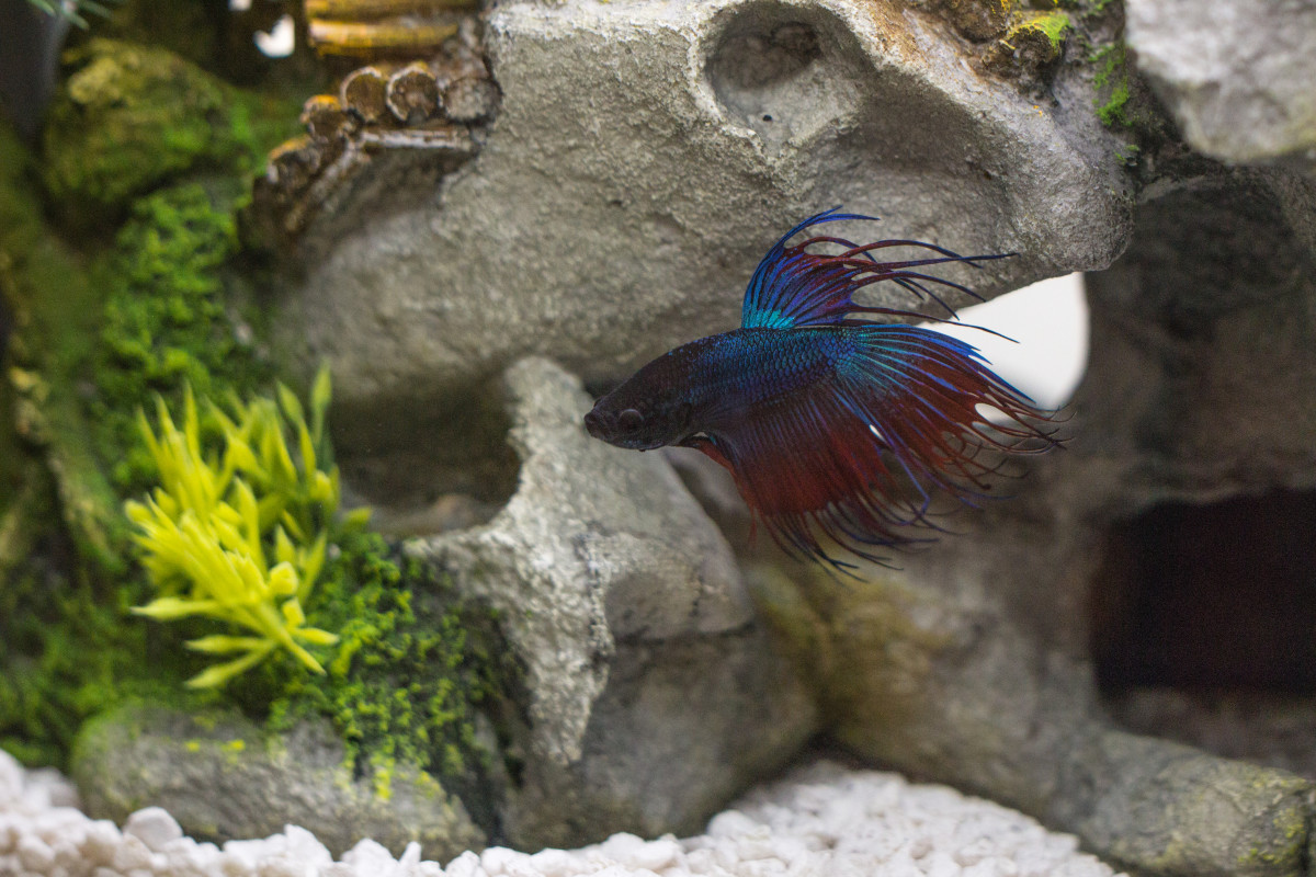 A healthy betta is a happy betta!