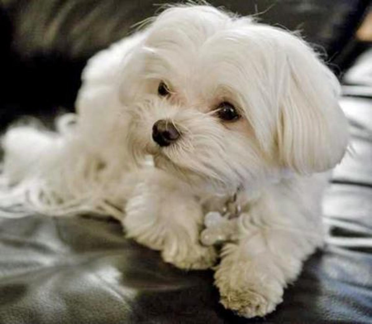 Maltese make great couch ornaments—as long as they do not have excitement urination!