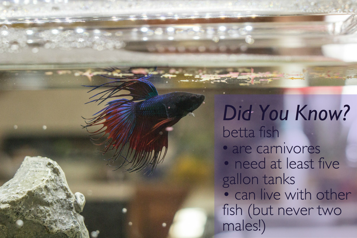 Halfmoon betta fish care and tips for Betta fish care guide