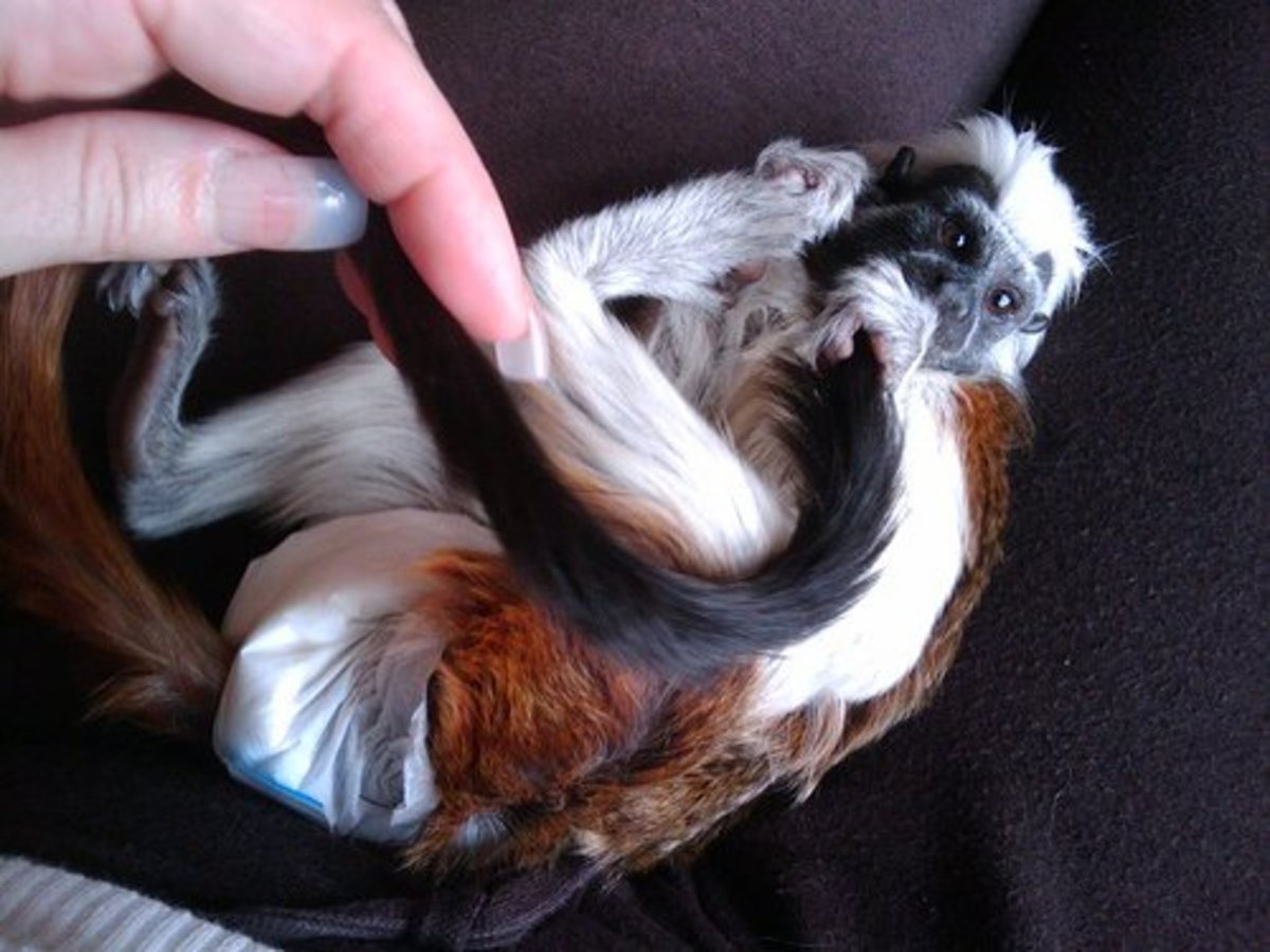 A cotton-top tamarin, an animal now banned as a pet in Ohio and considered dangerous.