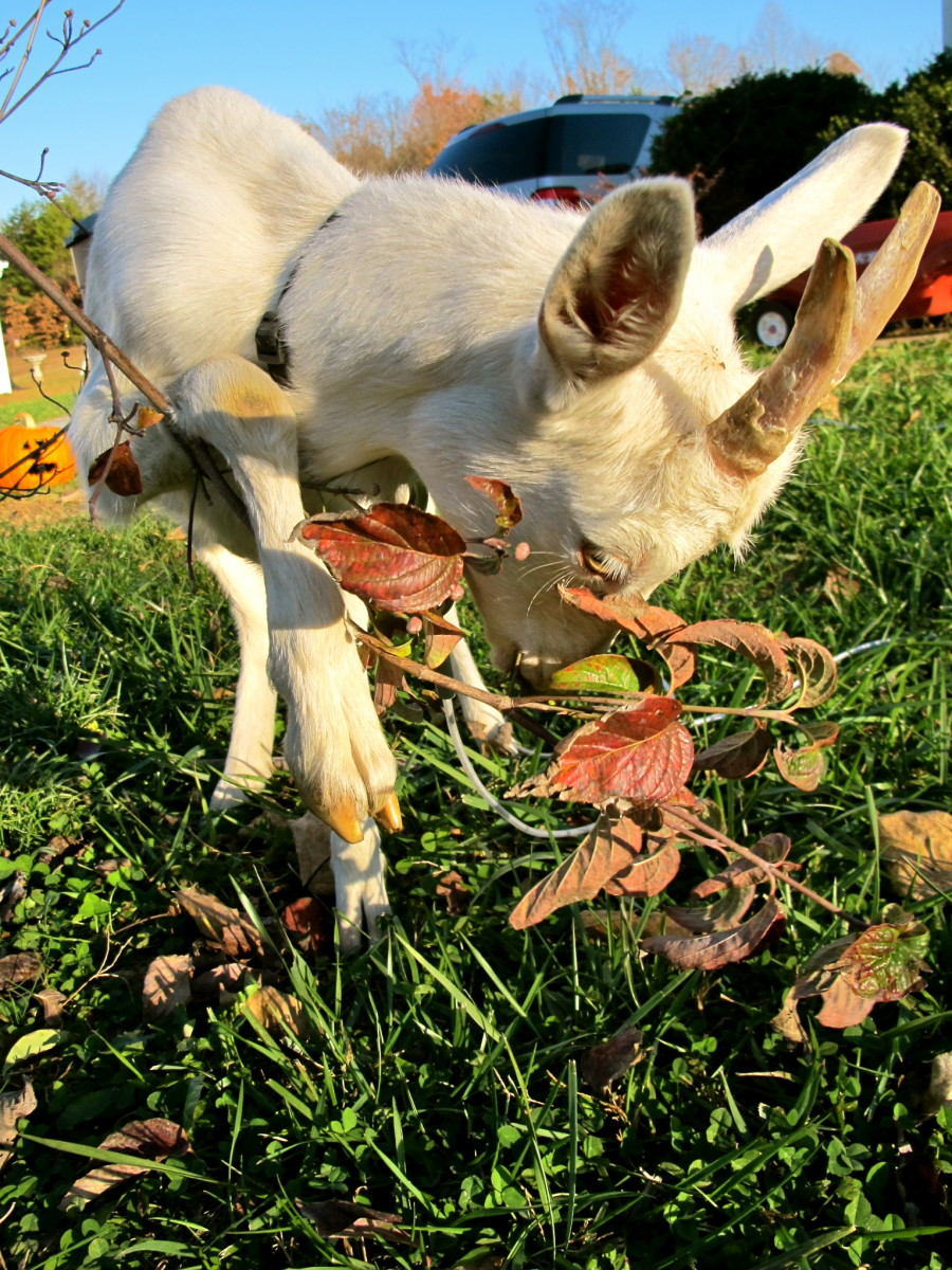 How To Raise And Care For Goats Pethelpful