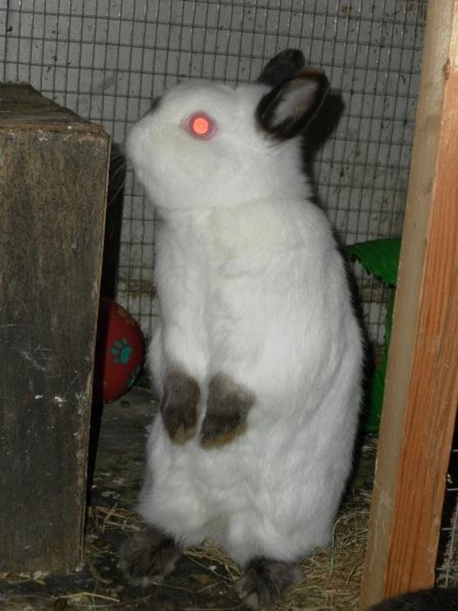 A Himalayan Netherland Dwarf Rabbit: A dwarf rabbit's cage or hutch should be tall enough to allow it to sit up on its hind legs