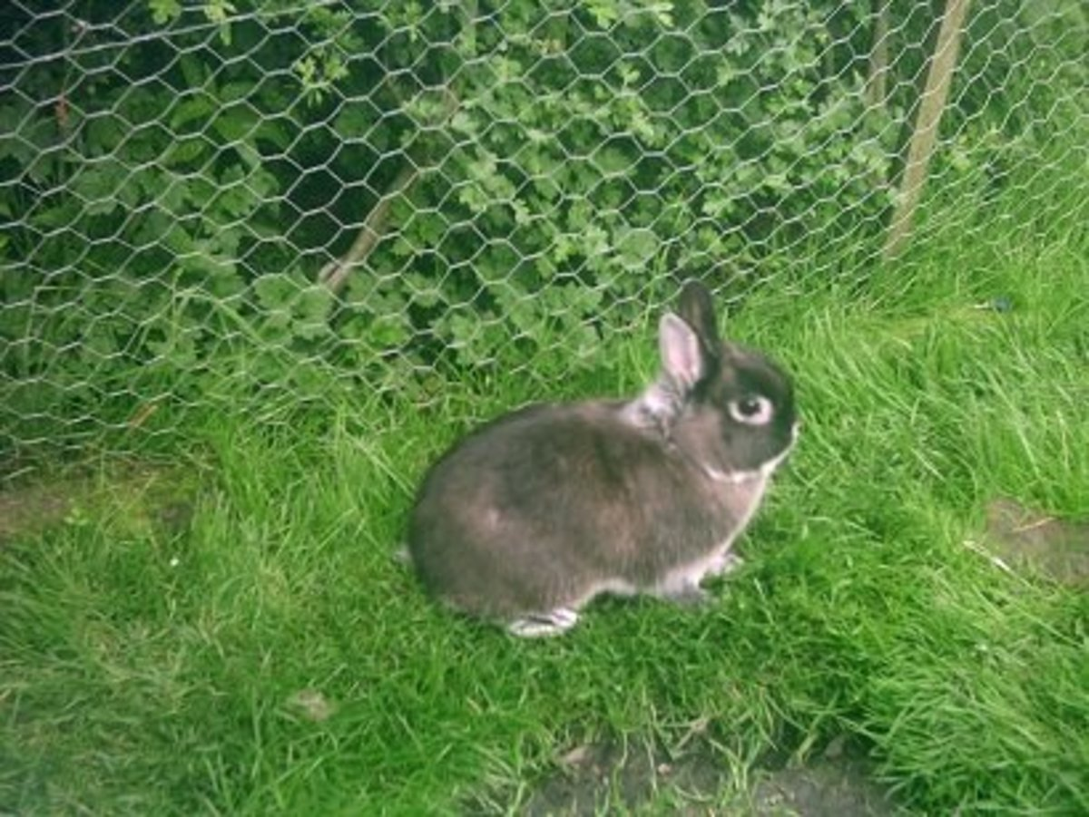 Your dwarf rabbit will enjoy having access to a secure grassed area or run.