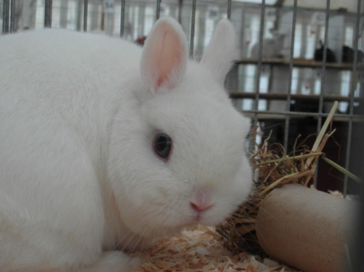 Blue eyed white Netherland dwarf rabbit