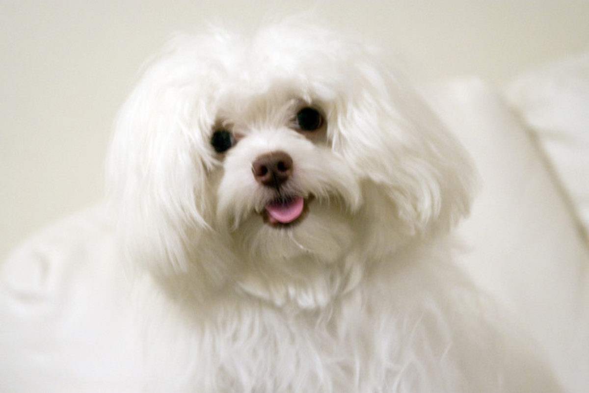 Maltese that are open mouth breathers are also prone to develop periodontal disease.