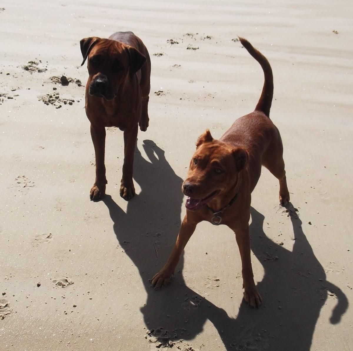 Healthy dogs on the beach.