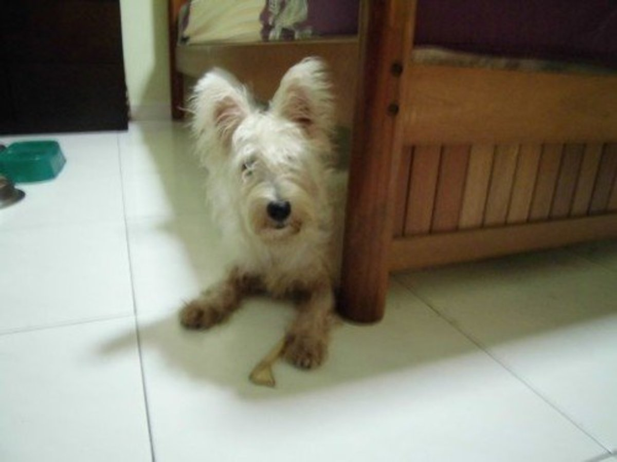 Owning a Westie: My Experiences With Sean and Cloudy | PetHelpful