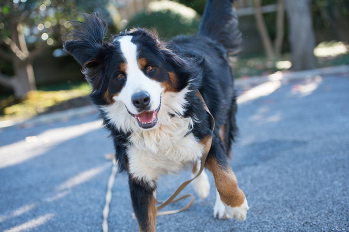 Your dog will be much happier after the ear mites are gone.