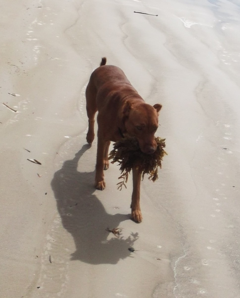 My dog practicing kinhin, Zen walking meditation, as she helps collect seaweed for my garden