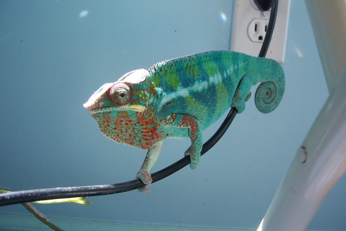 I have used coconut oil successfully with my panther chameleon.