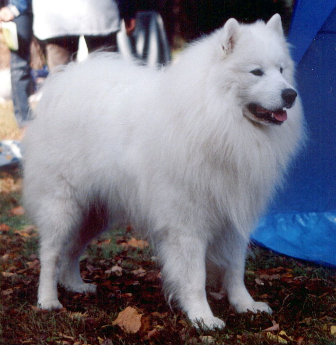 Samoyed suffers from hereditary cataracts problems.