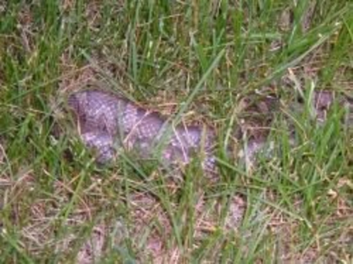 Milk snake hiding in our lawn