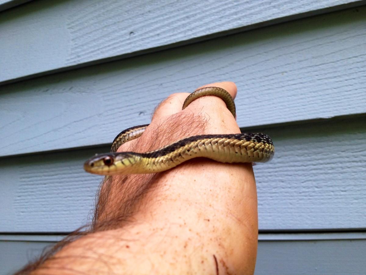 A Young Garter Snake