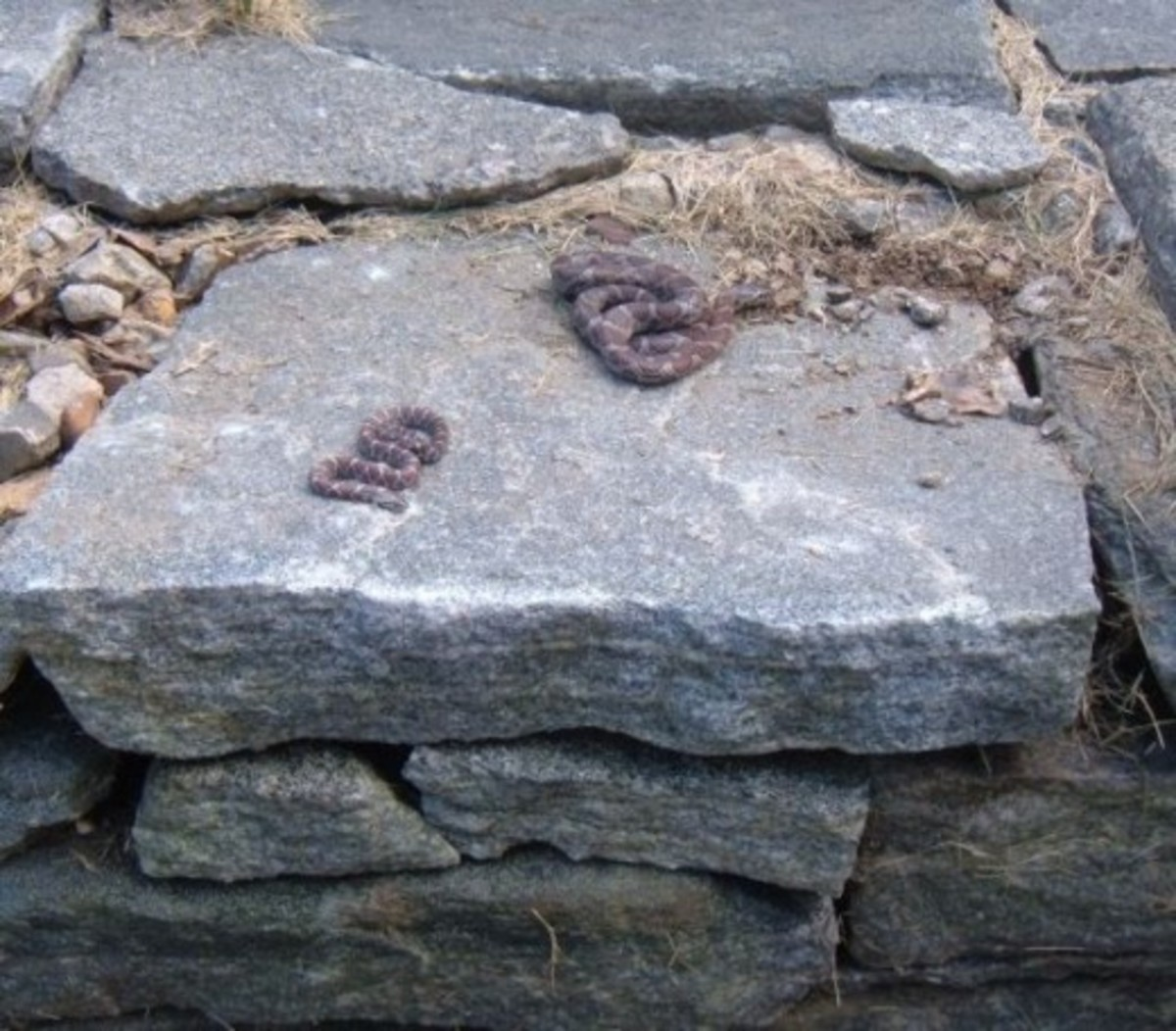 Milk Snakes on a Fieldstone Wall