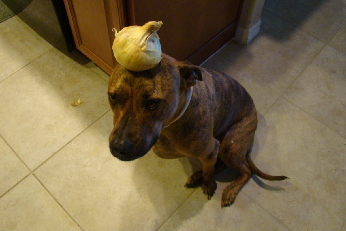 Dog with an onion on her head.