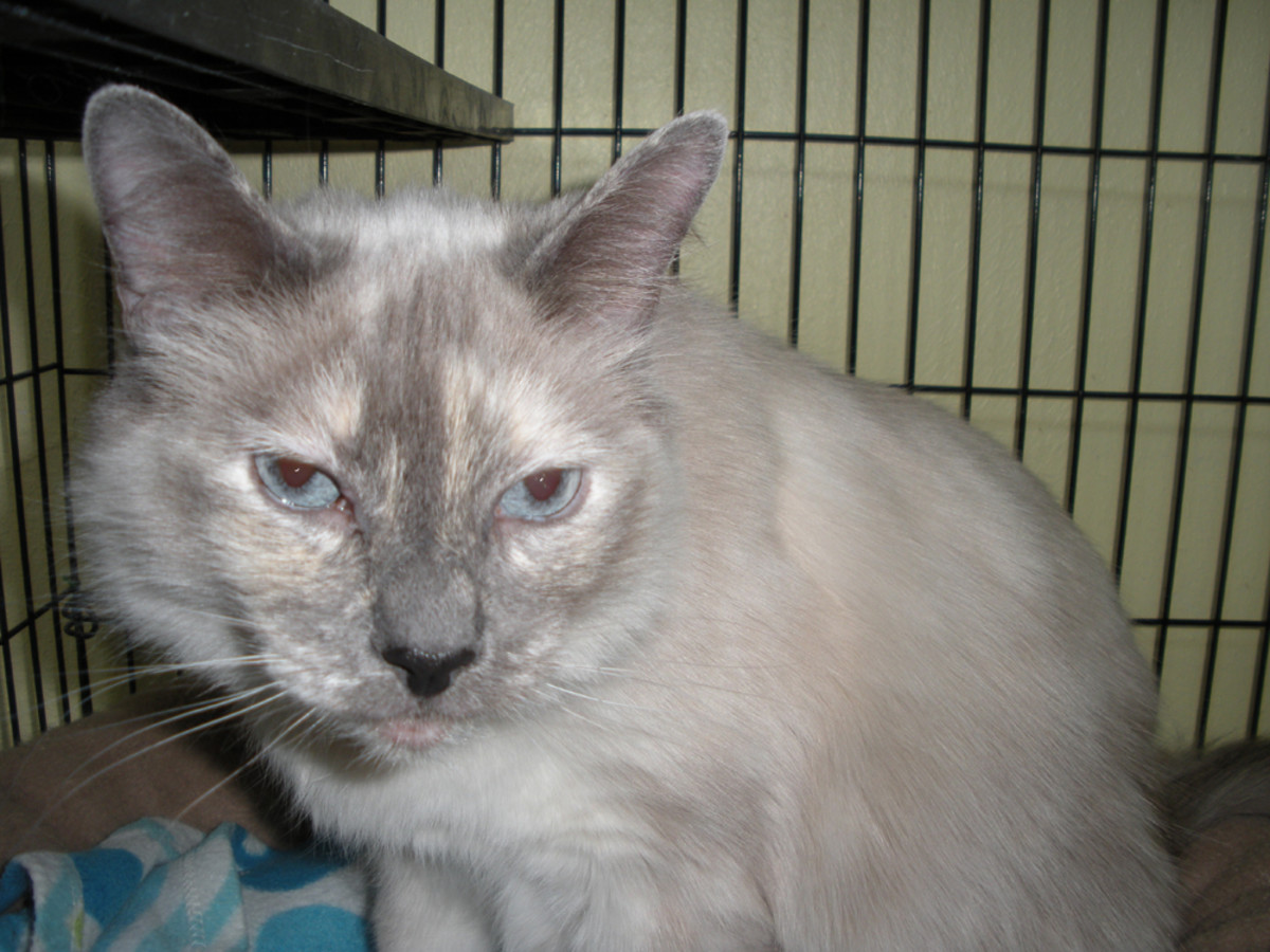 """Luv-Luv --  She's about 7 years old, so she has some years left on her.  She has a bit of the Siamese """"catitude,"""" but she eats up attention gratefully."""