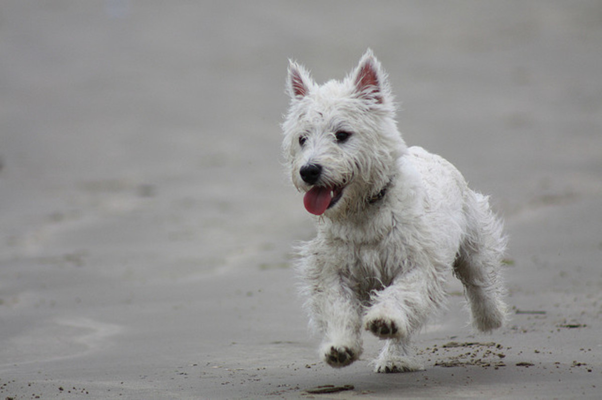 Westie ears are small but may need cleaning.