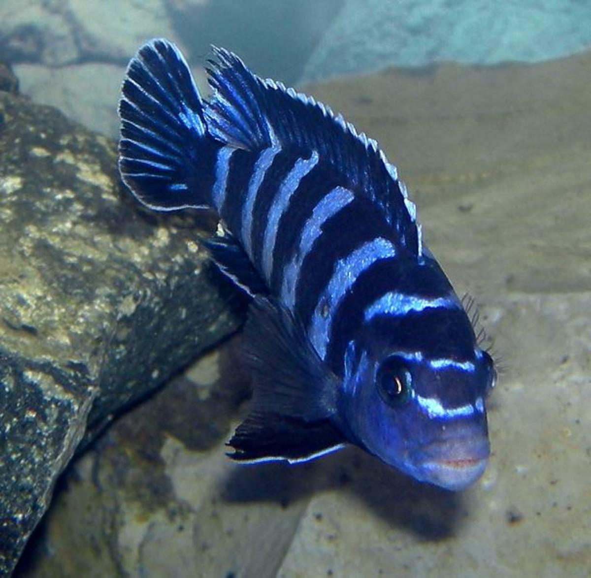 In the alkaline water needed by Malawi cichlids nitrite is as toxic as ammonia