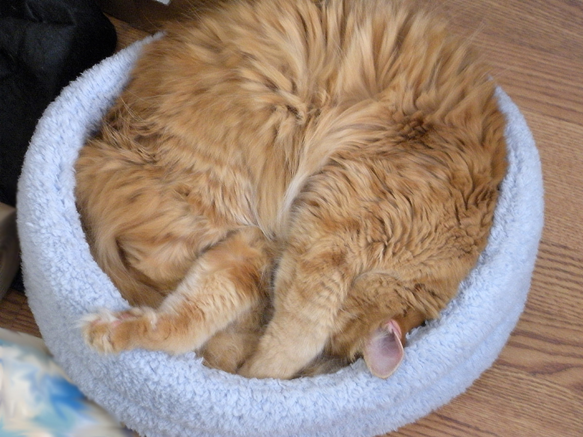 Tigger: Long-haired; minimal shedder. Famous for sleeping in crazy positions!