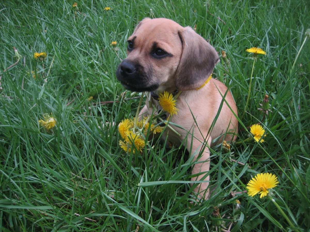 Let your puppy frolick in the weeds without worries, by placing plants that are healthy for your dog.