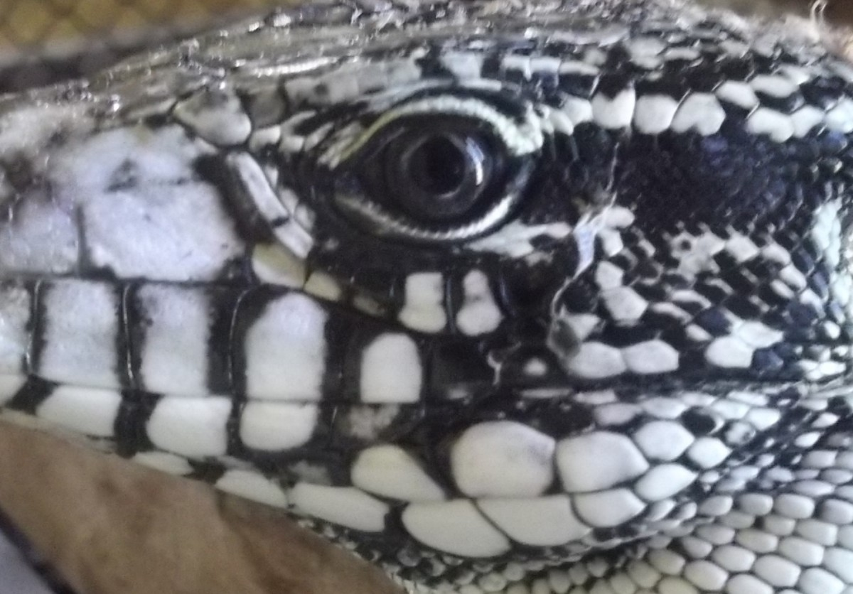 Is my Tegu looking at my eyes or my face?
