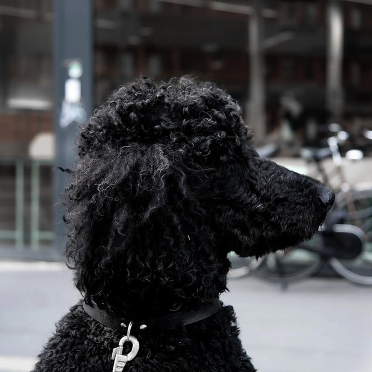 Black standard Poodle.