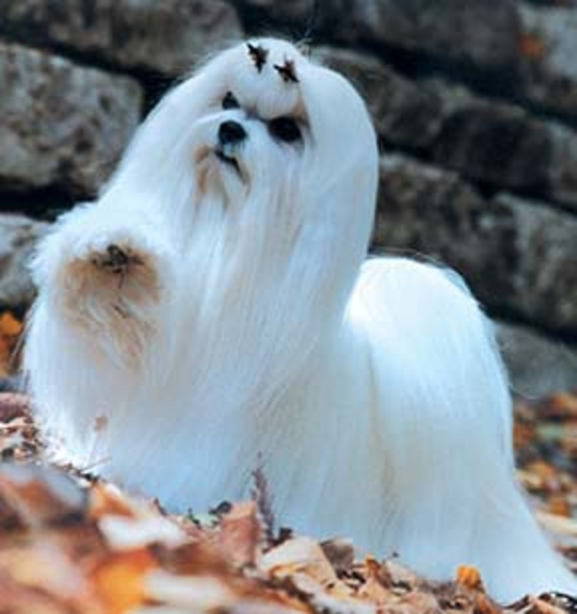 "Most people are not able to keep a Maltese like this, and prefer a ""puppy cut"", which is easier to brush."