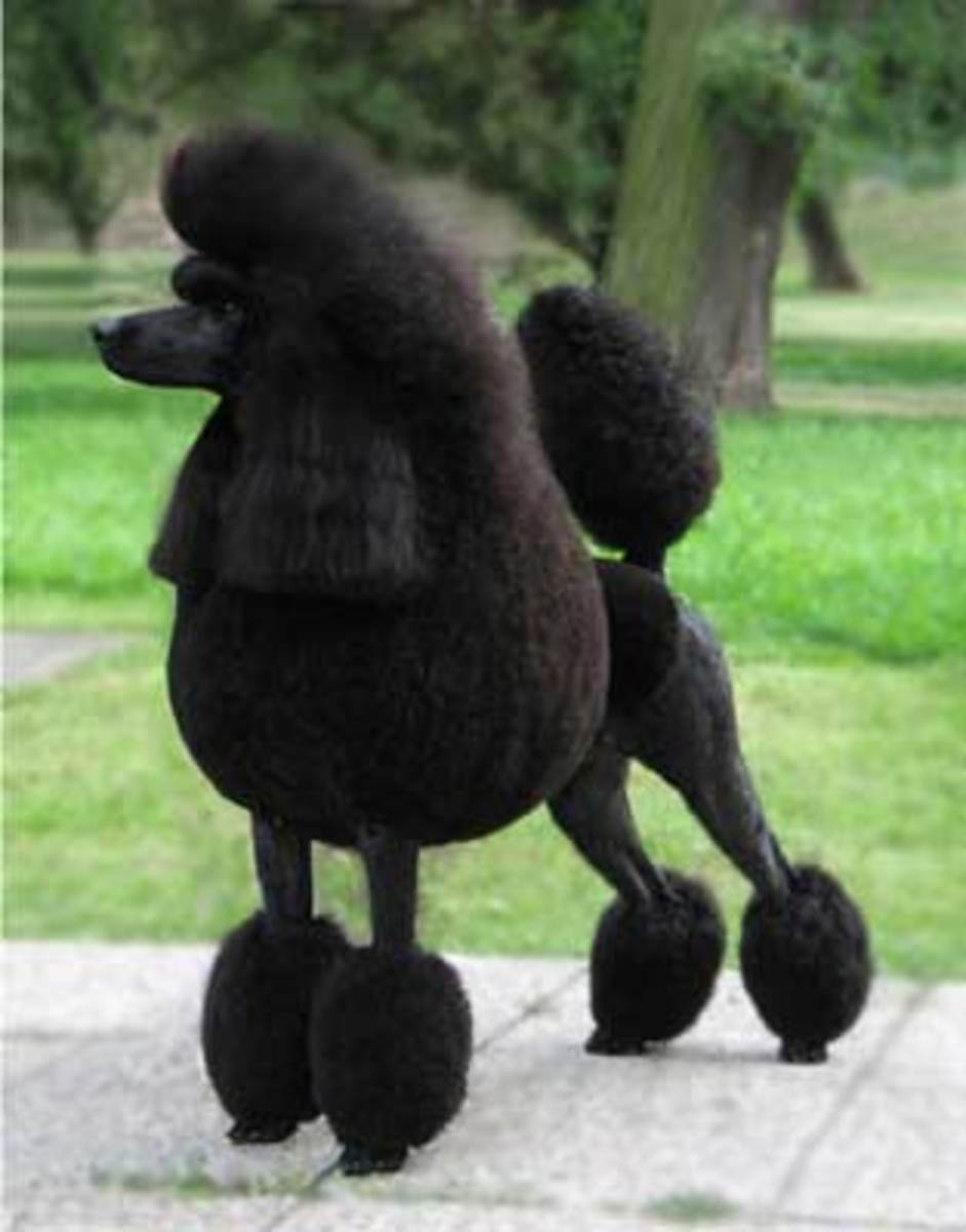 Black Poodle with a show cut.