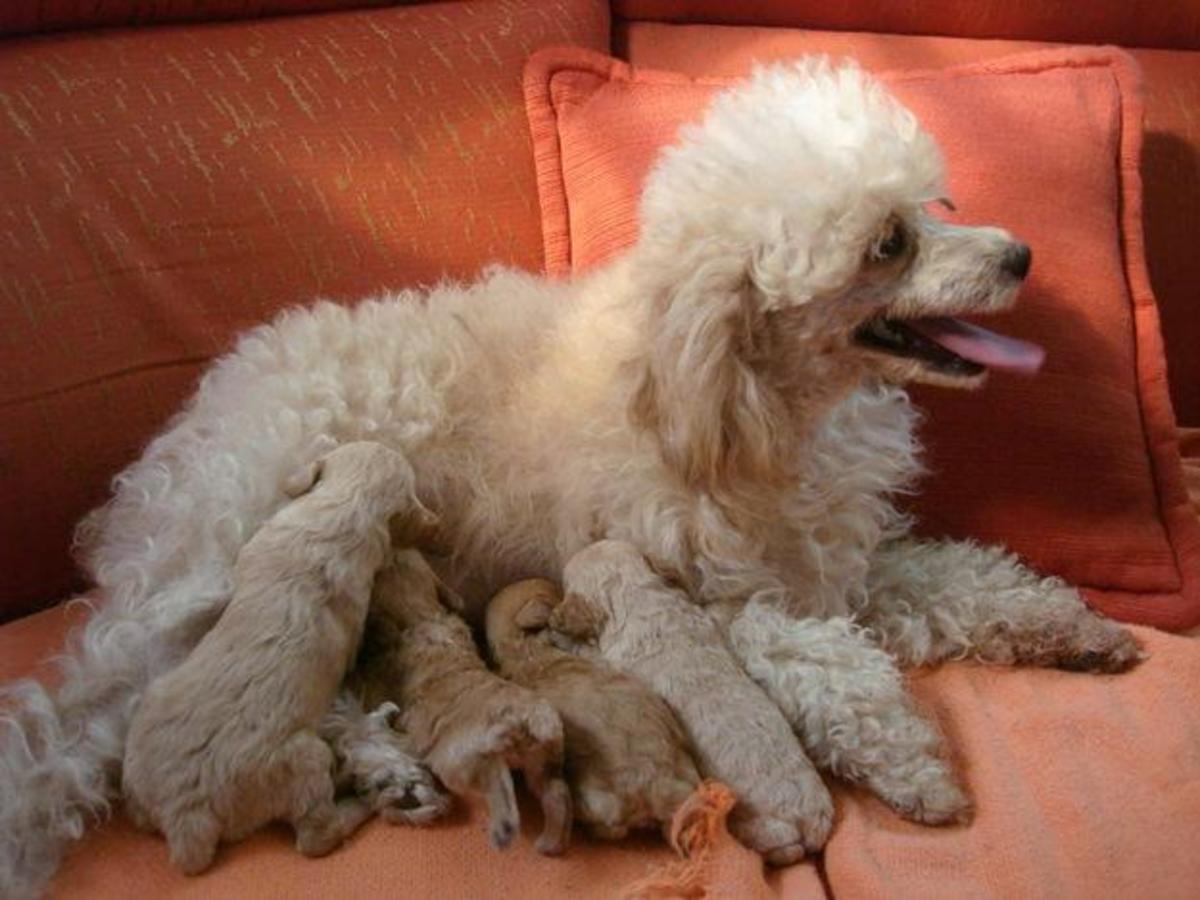 Poodle mama with her pups.