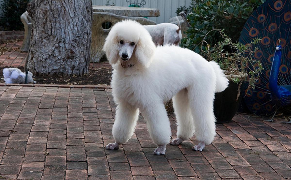 White Poodle.