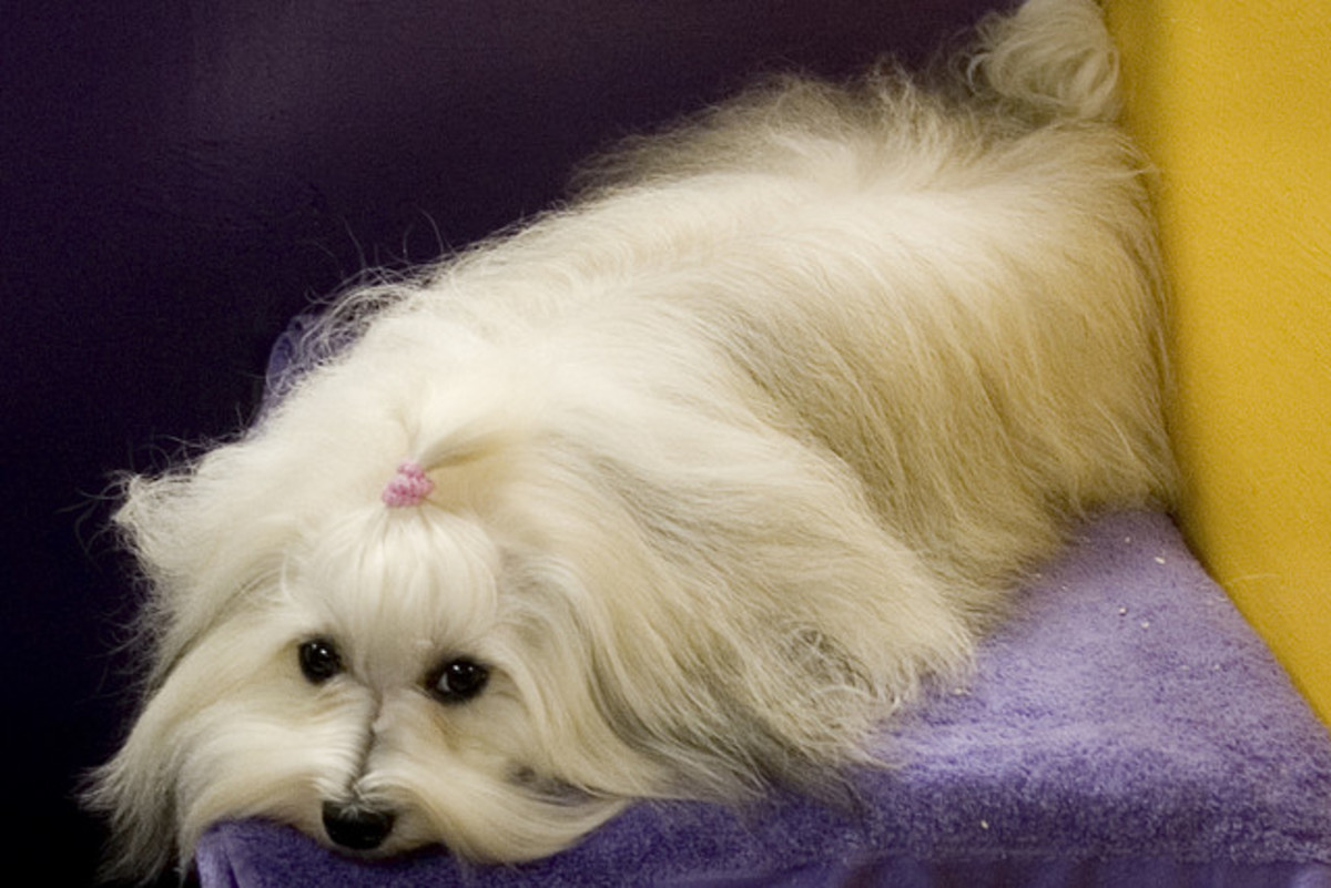 Maltese adults can be combed easily. They may not like it, though.