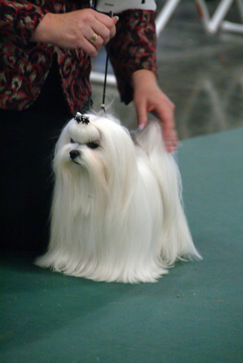 A Maltese with a long coat, in the show ring.