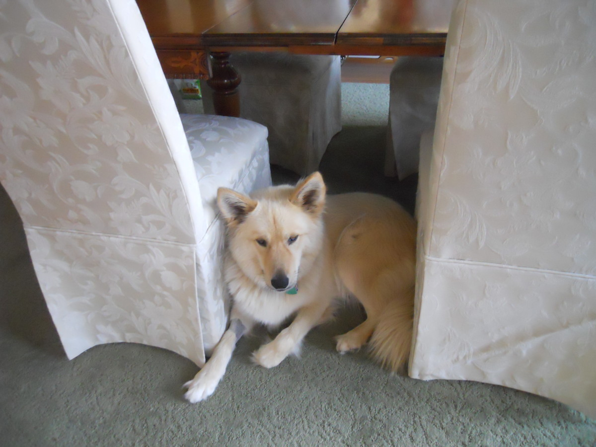 Scared Dog Hiding Under Table
