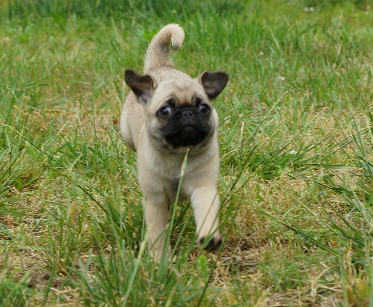 Happy pug running free in the backyard