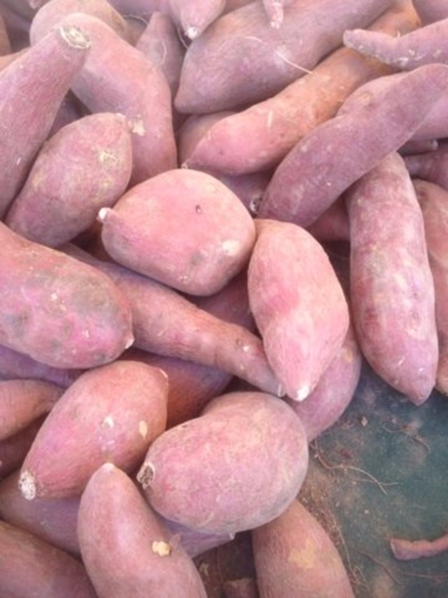Sweet potatoes are really healthy for dogs! They contain fiber and vitamins that are essential for their overall health. Make sure you use sweet potatoes and NOT white potatoes.