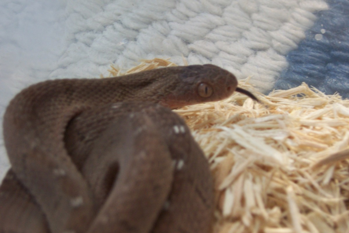Captive Egg-eating snake