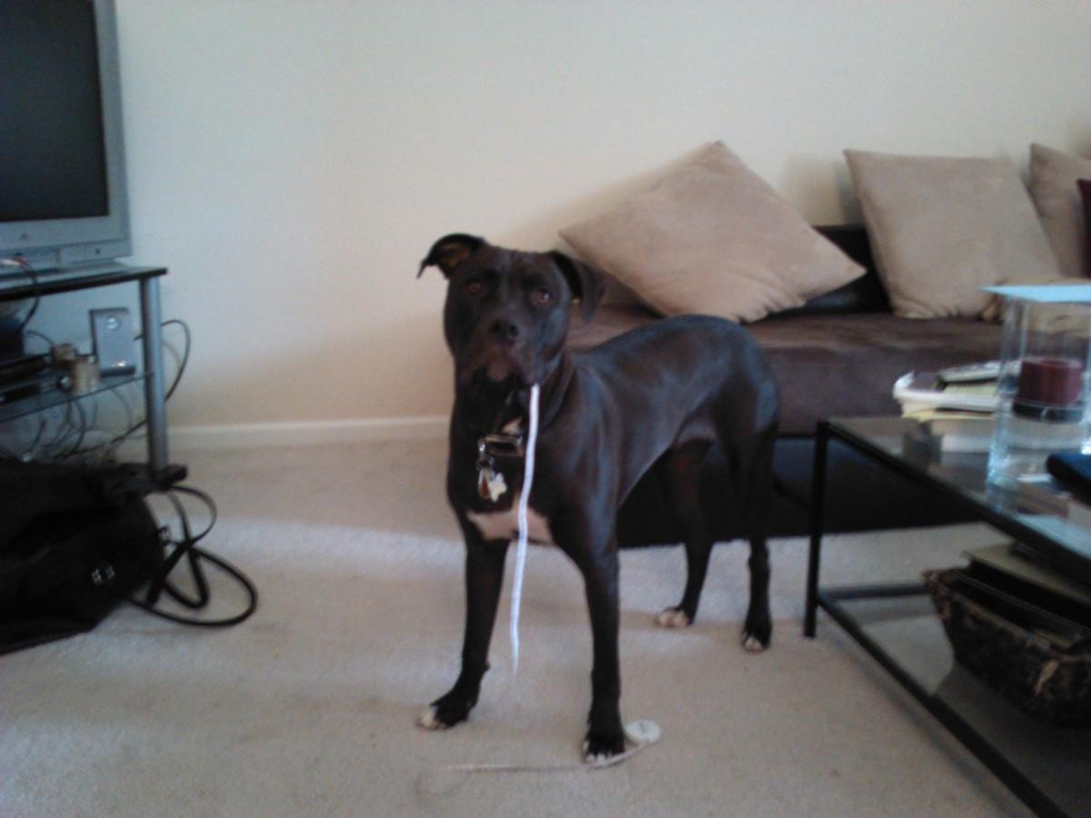 Dakota caught red-handed eating a tape measure!