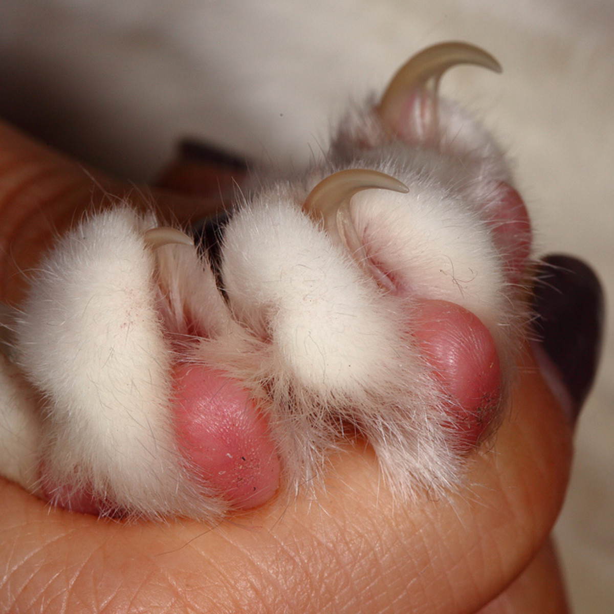 Learn to trim kitty's claws. Firm, but gently pressure on the paw will cause the claws to extend so they can be trimmed.