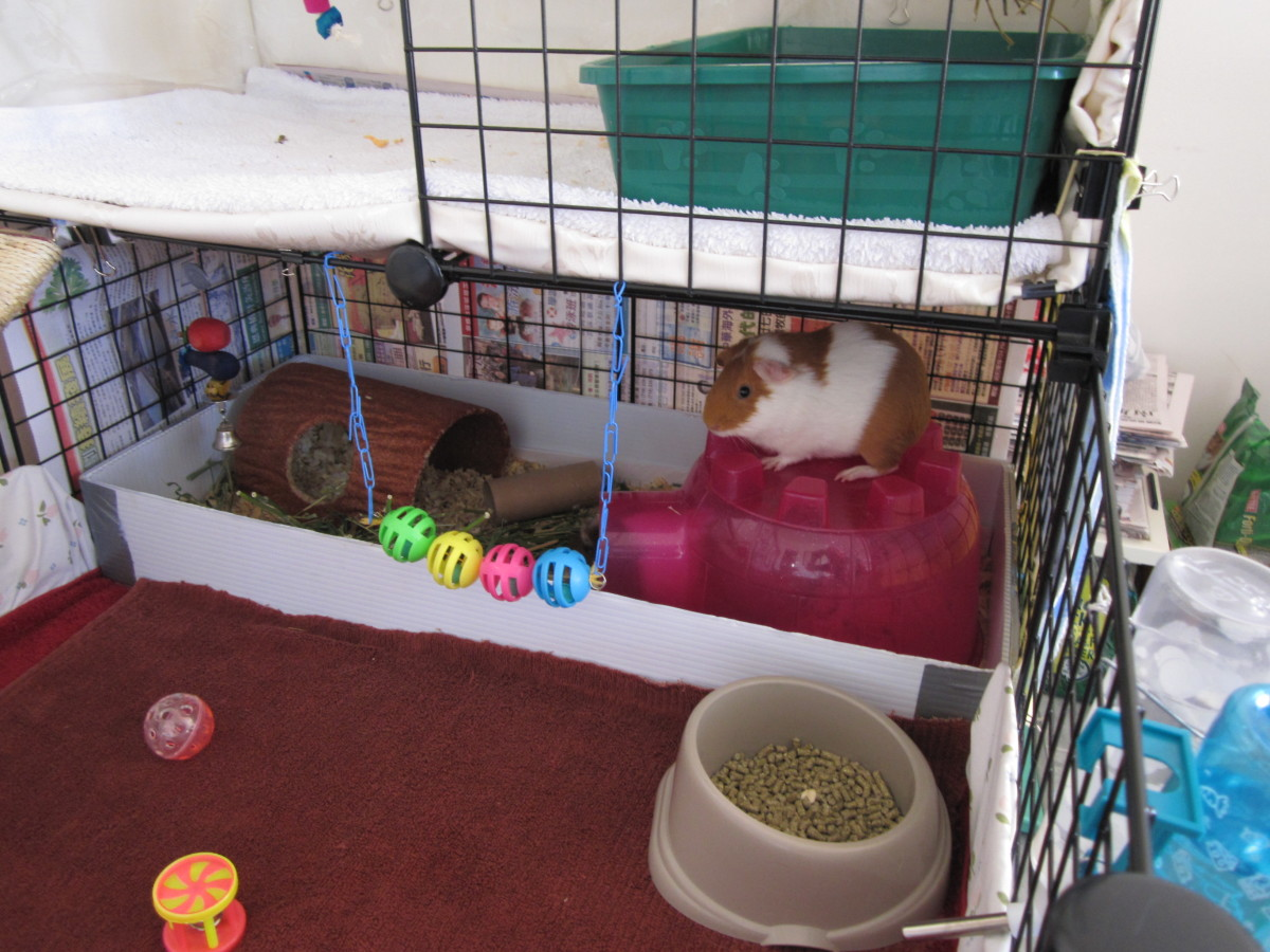 The guinea pigs' hideout, this is the place where they eat their treats and also use as a bathroom