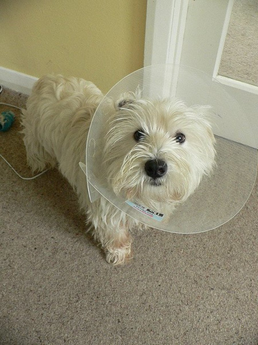 Allergic dogs sometimes need to wear collars so that their skin has some relief from chewing.