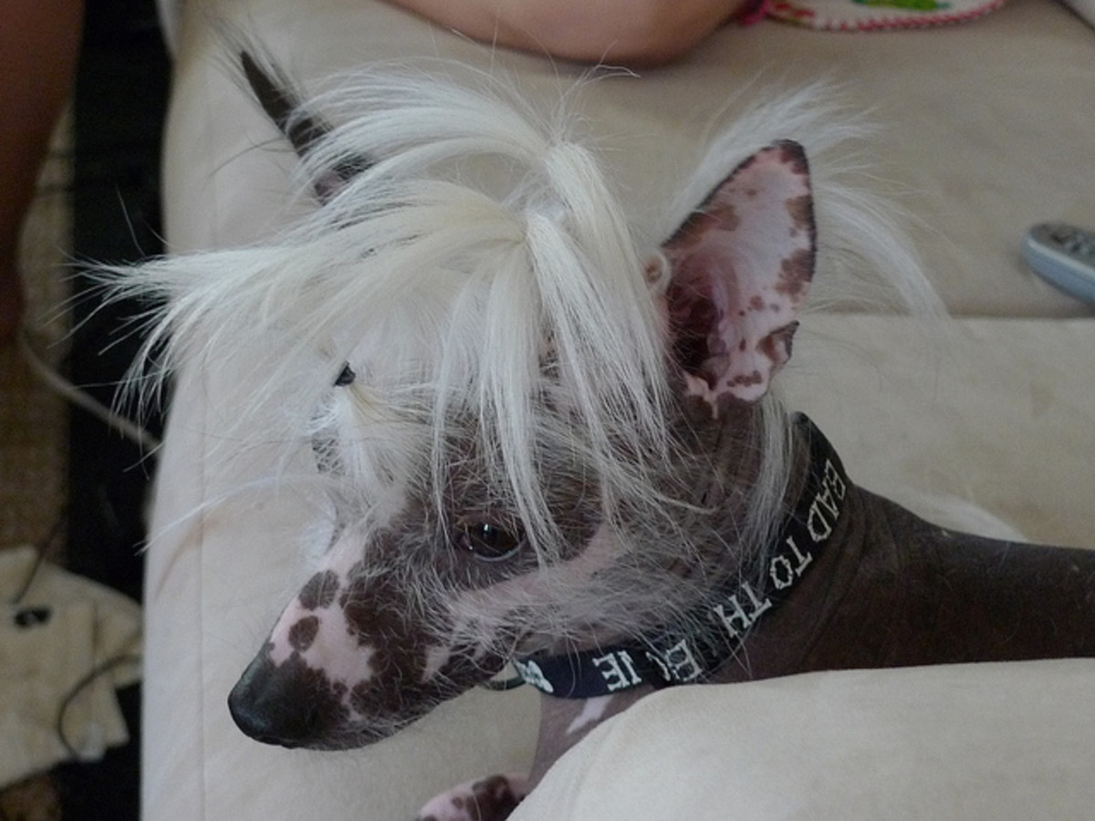 A Chinese Crested...aww, how cute and cuddly.